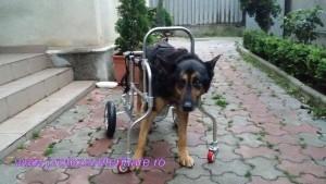 caine paralizat