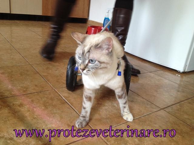 proteza veterinara pentru pisica