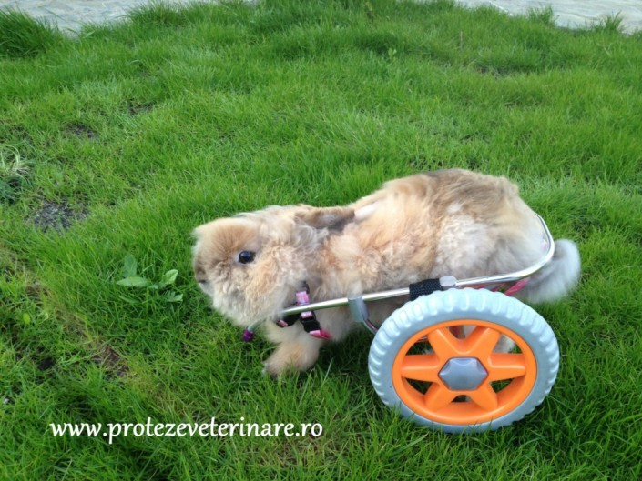 proteza veterinara pentru iepure