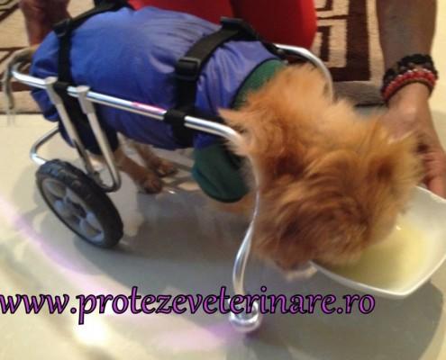 proteza-veterinara-Piky